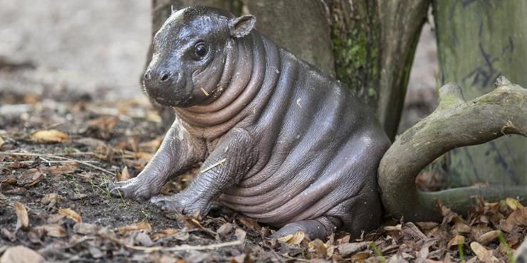 06-baby-pygmy-hippo
