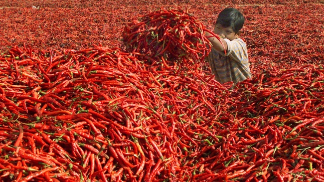 A boy puts red chilli peppers in a heap for making powder on a farm. Ahmedabad, India.