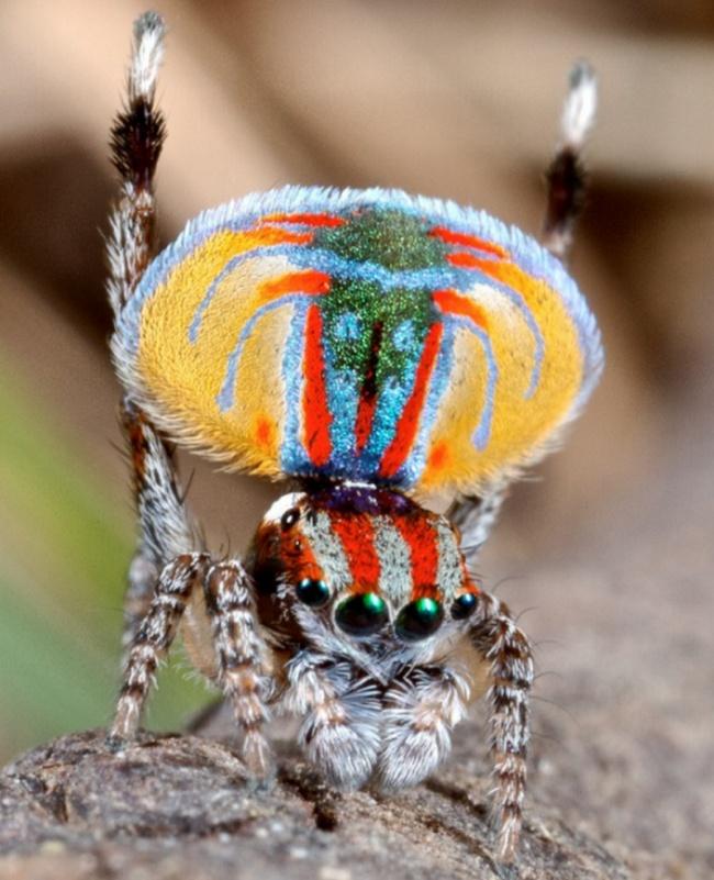 Spider-peacock (Maratus volans).