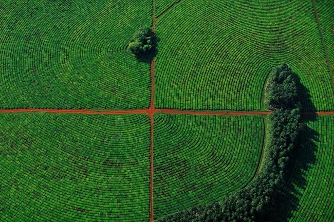 Tea plantations in the province of Corrientes, Argentina. Photographer-Yann Arthus-Bertrand.