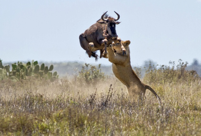 The six-foot jump of an antelope saves her from death. Kariega Reserve, South Africa. Photographer-Jacques Matthysen.