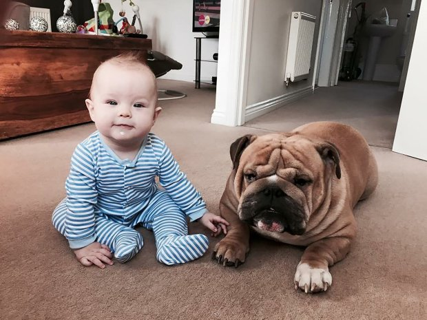 PIC FROM MERCURY PRESS (PICTURED: BOB THE 19 MONTH OLD WITH HIS BROTHER DAVE THE BRITISH BULLDOG) A touching video of an adorable baby boy who thinks a bulldog is his BROTHER has proved a viral hit ñ as the incredible footage shows the pair playing, eating and even sleeping together. Best pals Bob Miller and bulldog Dave have been inseparable since Bob was born 19 months ago ñ even kissing and cuddling each other before bed. Now an adorable video showing the pair's friendship, made by Bob's mum Zoe Fletcher, has gone viral after attracting more than 521,000 views on social media. Zoe, from Bolton, Greater Manchester, made a slideshow of pictures showing the duo in matching outfits ñ including a hilarious snap of the pals dressed as Minions. Dave, four, sits down for breakfast with Bob every morning and they even have naps together. SEE MERCURY COPY