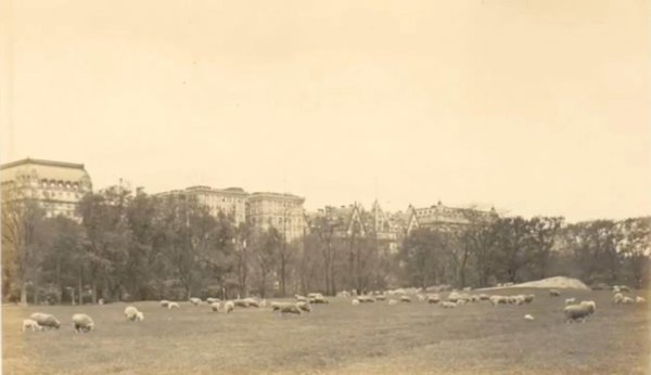 detail_thaddeus_wilkerson_postcard_sheep_fold_central_park_ny.jpg__600x0_q85_upscale