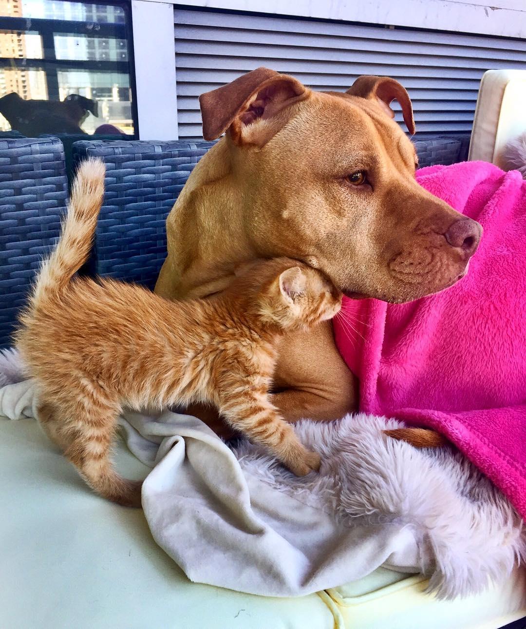 Pitbull traktuje kotkę jak córkę