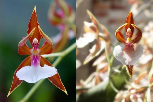 Ballerina Orchid - 8 najpiękniejszych a zarazem najdziwniejszych kwiatów