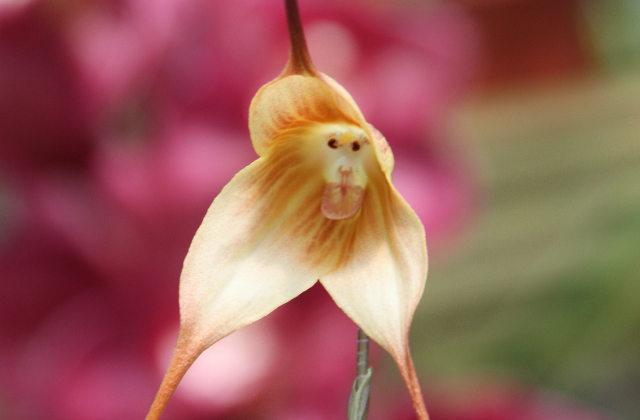 Storczyk małpi - 8 najpiękniejszych a zarazem najdziwniejszych kwiatów
