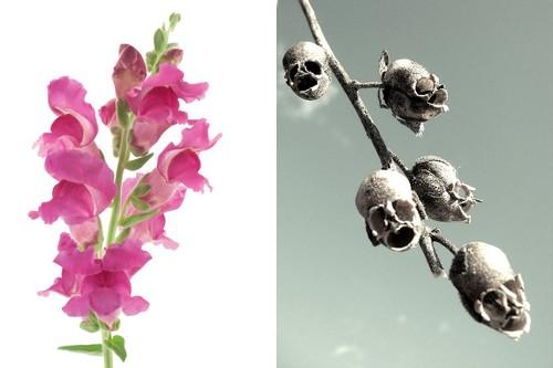 Wyżylin większy - 8 najpiękniejszych a zarazem najdziwniejszych kwiatów