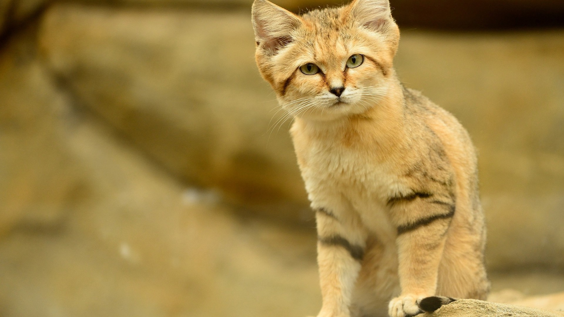specyfika kota pustynnego