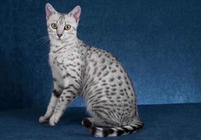 Ranking 10 Najdroższych Ras Kotów świata Blaber
