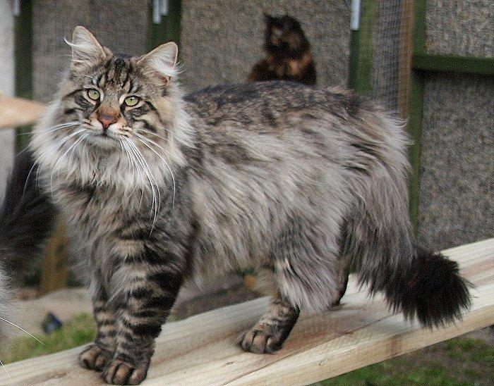 najdroższe rasy kotów świata