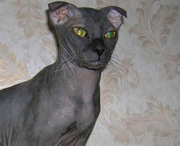 najbardziej unikatowe rasy kotów