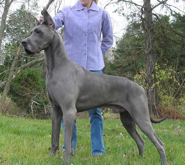 największe psy na świecie