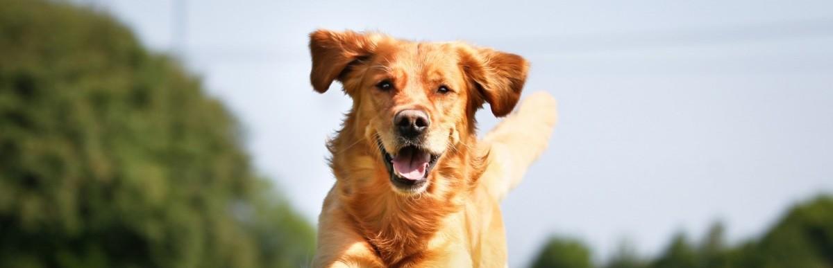 pies sztuczki jak nauczyć
