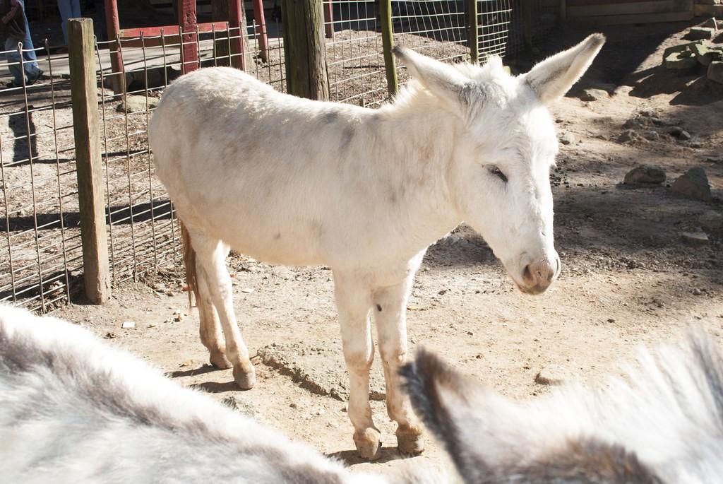 zwierzęta albinosy