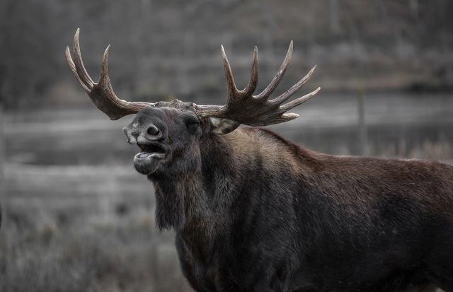 moose-bull-elk-yawns-39645