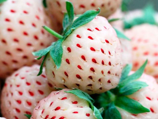 truskawka-biala-ananasowa-pineberry