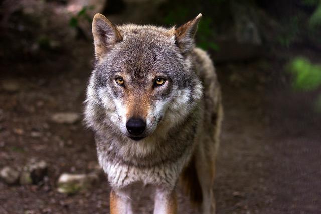 wolf-predator-hunter-canis-lupus-39310 (1)