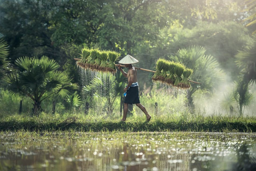Plantacja ryżu - Chiny