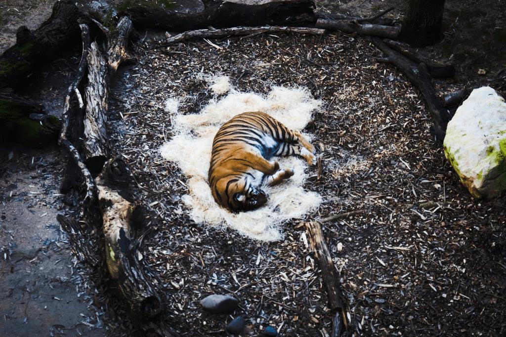 zmęczony tygrys